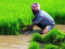 Online Courses Diploma in Paddy Farmer